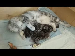 Мраморные шотландские котята Казань.