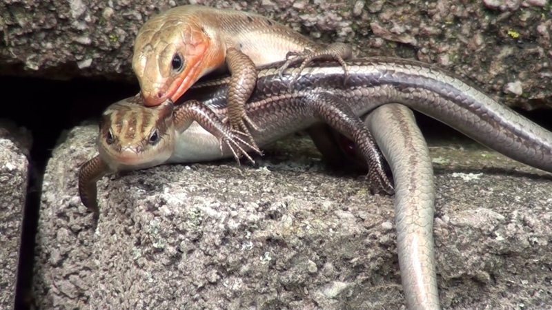 Ambient controversial KINKY SKINKS XXX rated reptilian sex FOREPLAY lizard style