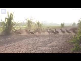 Больше 3000 уток. Пасет местный фермер. Они каждое утро отправляются к воде, вечером птицы возвращаются. Тайланд