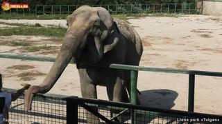 Балованная Магда и степенная Дженни. Слоны. Тайган. Elephant's life in Taigan.