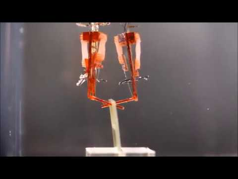 Biohybrid robot powered by an antagonistic pair of skeletal muscle tissues
