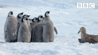Penguin chicks rescued by unlikely hero | Spy in the Snow - BBC