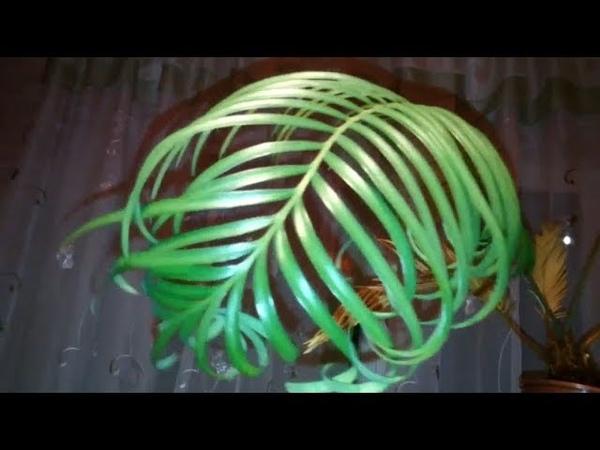 Цикас 3 Саговник Саговая пальма На вайе зелёные кудрявые листья