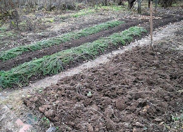 Последние несколько лет, среди дачников и прочих садоводов, широкое распространение получила высадка культур под зиму!