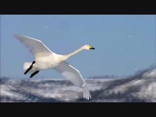 Любовь уставших лебедей. Димаш Кудайберген