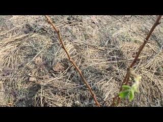 Первые листики малины в апреле и, Арни - охотник)