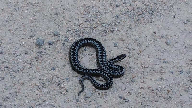 Змеюка Будьте осторожны Карелия