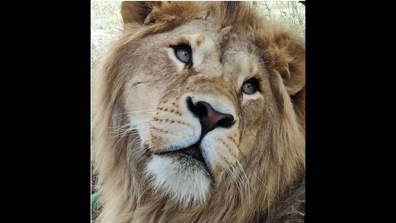Тайган Пропал лев Филя ФИЛЯ найдись ТЫ только ЖИВИ тайган крым филя