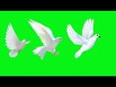 GREEN SCREEN Dove birds Flying effects HD No copyright free download chroma key dove pigeon