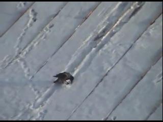Ворона-Лихая Наездница!  Нна крышке,  КАК НА САНКАХ --- катается с горки :)!!!