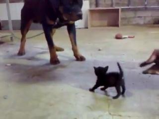 Крохотный котенок против ротвейлера