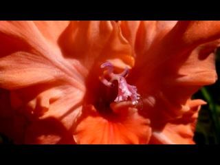 Мои любимые Гладиолусы! под музыку Евгений Дога - Вальс цветов из к/ф  Мой ласковый и нежный зверь. Picrolla