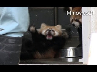 Испуганный детеныш панды покоряет Интернет