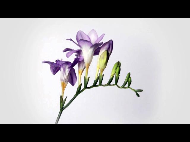 Фрезія квітне Фрезія розпускається Фрезия цветет Квіти розпускаються Цветы распускаются Квіти