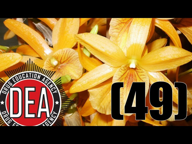 Nachruf Sasha Shulgin / Psychoaktive Orchidee / Dabbing | DEA (49)