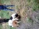 Алабай против Питбуля. бой собак alabai against pit bull. fighting dogs