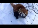 Red Panda Compilation - Cute Baby and Adult Red Pandas - PlushCompilations
