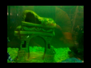 фильм - золотые рыбы, остонотус , гуппи, анубис
