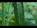 Выращивание огурцов. Моя плантация - все секретыот А до Я