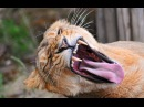 Крокодил дал отпор стае львов Борьба за жизнь Lions vs Crocodile 2016 Animal fight BBC video