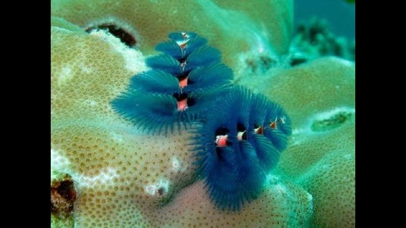[Amazing Animals]The beauty Christmas pine tree undersea - Spirobranchus giganteus - part 1
