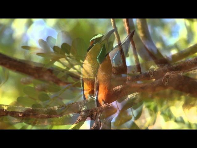 Бурый момот Turquoise-browed motmot Eumomota superciliosa