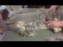 Стрижка Кошки без наркоза за 15 минут