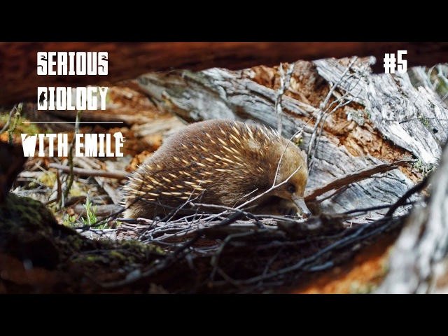 Platypus and echidna, egg-laying mammals - Serious Biology for Kids 5