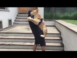 Львенок встречает хозяина после разлуки. Дружба человека и животного.