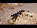 Pyrophleps ellawi - новый вид мимикрирующих под ос малайзийских бабочек Skowron VolponiVolponi