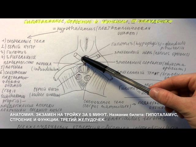 Билет 018 ГИПОТАЛАМУС СТРОЕНИЕ И ФУНКЦИИ ТРЕТИЙ ЖЕЛУДОЧЕК