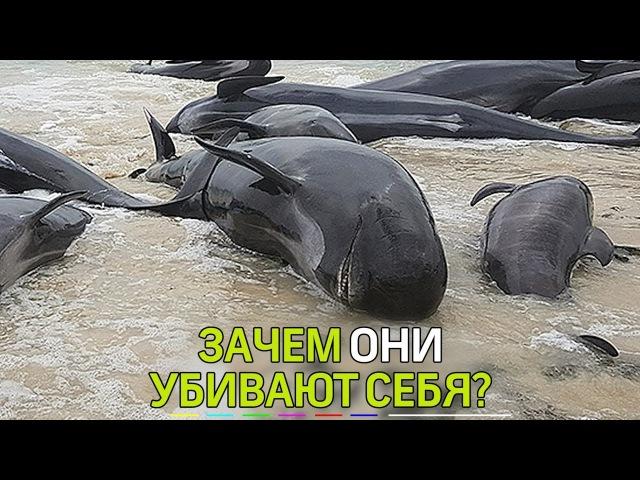 В Австралии более 130 дельфинов-гринд выбросились на берег