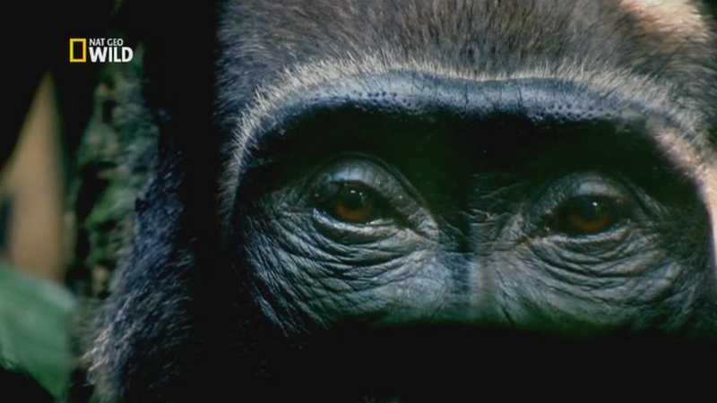 Nat Geo Wild Королевство обезьян Брат против брата 2014 Avaros