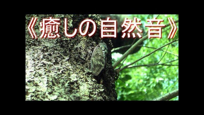 сильный звук цикад《癒しの自然音》 セミ の鳴き声 大合唱  リフレッシュ・スト 6