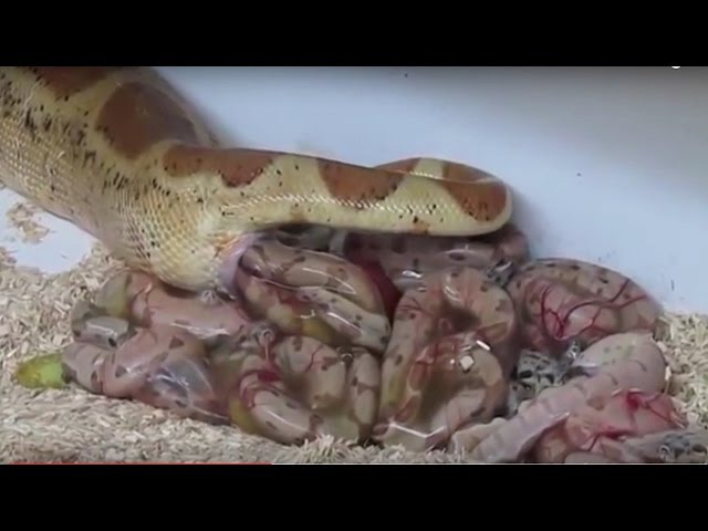 Wonderfully Snake Giving Birth Baby In The Amniotic Sac