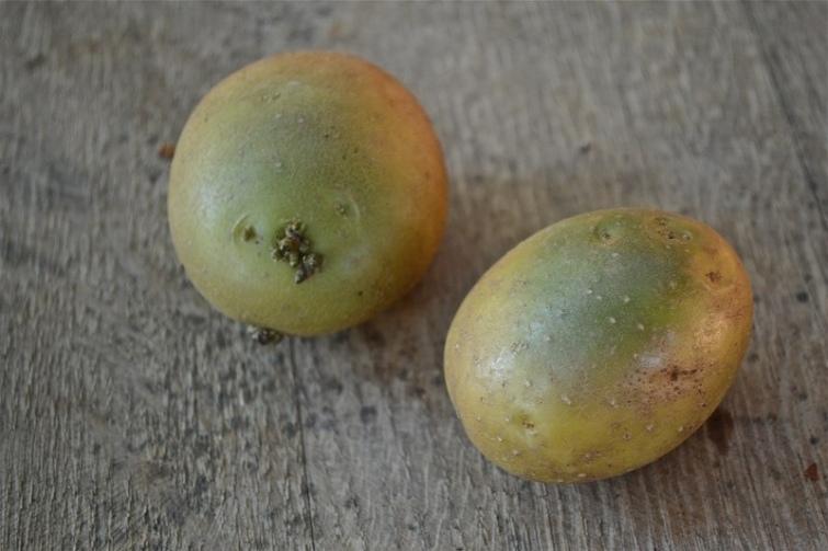 Ядовитые фрукты и овощи с нашего стола, изображение №10