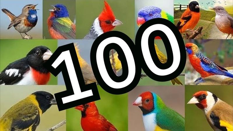 Cantos de Pássaros Silvestres - 100 Melhores Cantos de Passarinhos