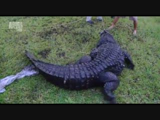 Как прокормить крокодила / Crocodile Feeding Frenzy