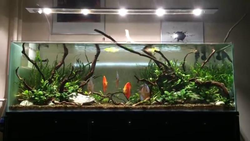 387L aquarium tank hardscape with Discus 6 month old