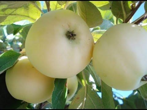 Яблони белый налив уралец Груша красивые цветы
