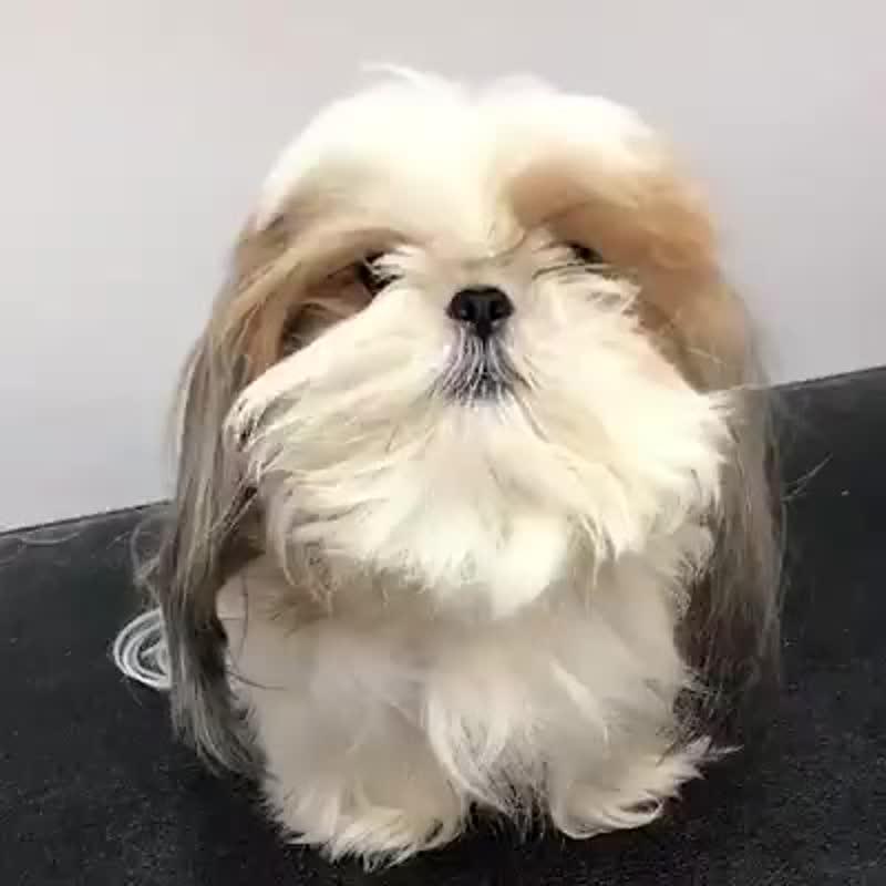 Наводим красоту ... - стрижка собак .