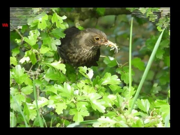 Чёрный дрозд (нем. Amsel) (анг. Blackbird)