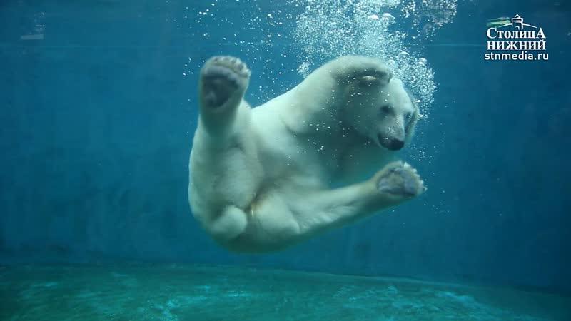 Жара возвращается в Нижний Новгород. Как ее перенесет белая медведица Аяна?