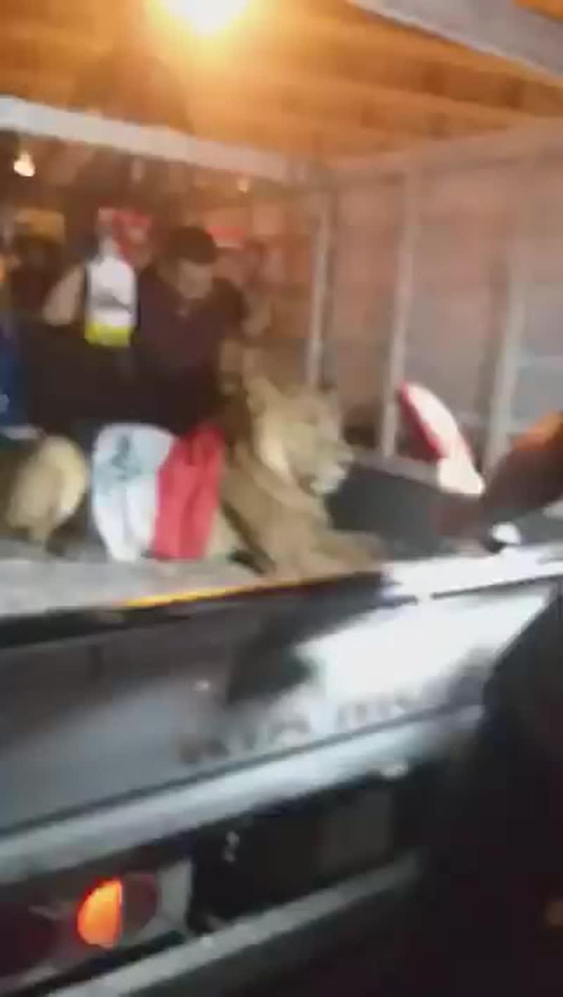 В ответ на использование полицейских собак, один из протестующих привёз на Багдадский Тахрир большую кошку из рода Пантера)