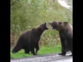 Два медведя вступили в схватку на трассе Абакан-Кызыл