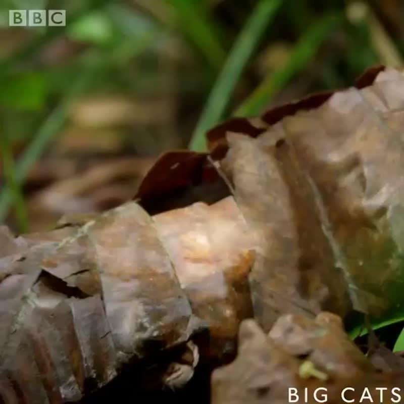 Самая маленькая и редкая в мире дикая кошка