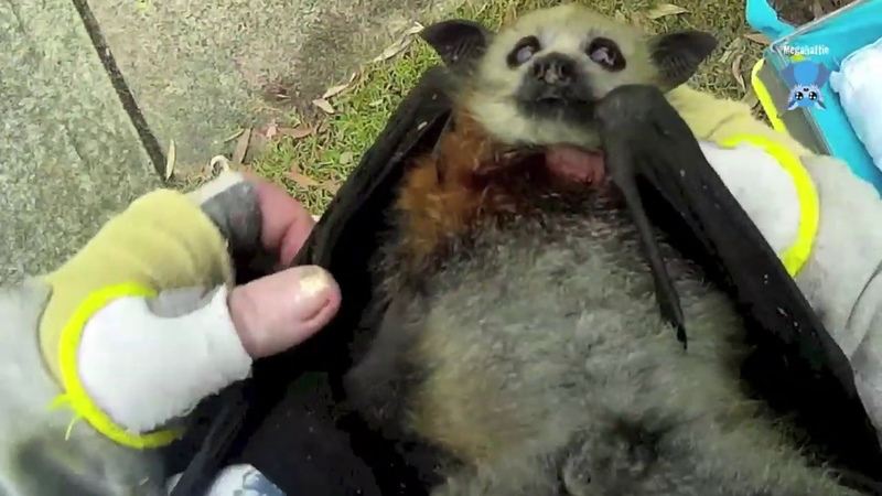 Rescuing a baby flying fox on the side of a road this is Moxie
