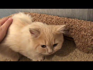 Продаётся британский котёнок- maestro plush blue ray,4m.tel/viber/whatsapp +79213305155, spb.