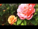 The Roses (♪♫ Whitehall Mystery Orchestra-My serenada) HD
