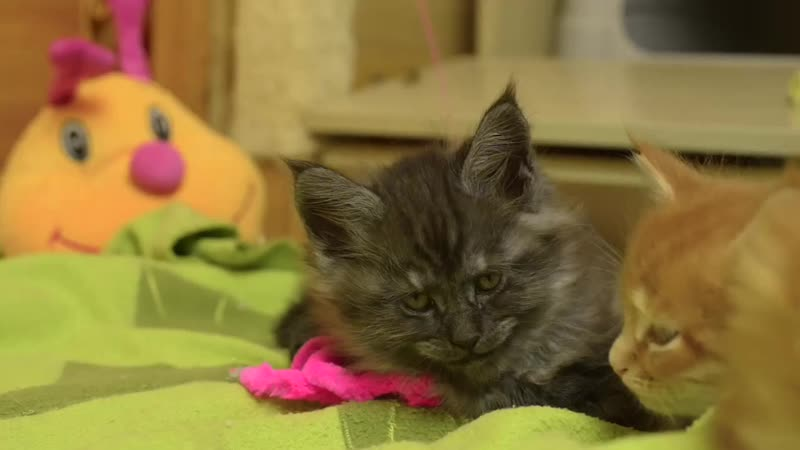 котята Мейн-Кун на игровой площадке